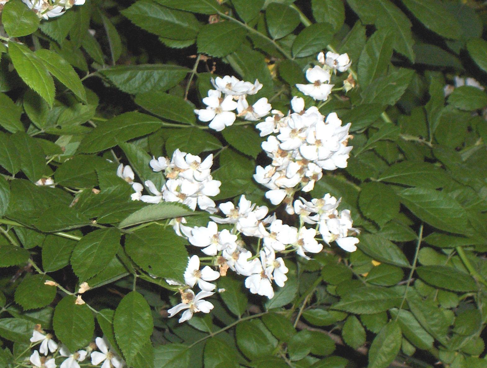 Athens County Invasives Control Program Multiflora Rose